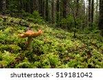 Mushrooms Grow In An Douglas...