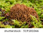 A Coral Mushroom Growing On A...