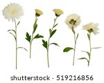 Set Of White Aster Flowers...