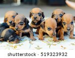 Stock photo  dachshund puppy dachshund puppy portrait outdoors many cute dachshund puppy playing outdoor 519323932
