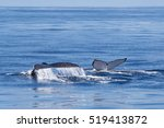 humpback whales fin in western...   Shutterstock . vector #519413872