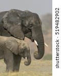 Small photo of African elephant family dust bathing