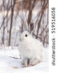 Stock photo snowshoe hare or varying hare closeup in winter in canada 519516058
