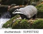 european badger | Shutterstock . vector #519557332