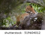 sri lankan leopard  panthera... | Shutterstock . vector #519604012