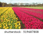 yellow and red tulips fields in ... | Shutterstock . vector #519687808