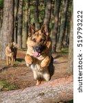German Shepherd Dog Jumping