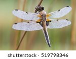 Four Spotted Chaser  Dragonfly...