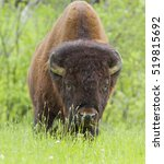 Small photo of A huge male - American bison (Bison bison) in the prairie