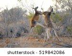 Two Big Male Red Kangaroos...