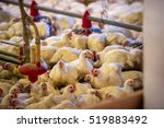 chicken on a poultry farm | Shutterstock . vector #519883492
