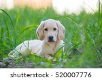 Beautiful Dog Puppy Labrador...