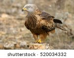 Adult Of Red Kite Fying. Milvu...