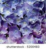 close up of blue hydrangea... | Shutterstock . vector #5200483