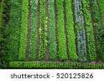 green vegetable garden  top view | Shutterstock . vector #520125826