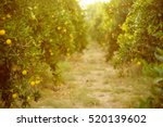orange garden with ripening... | Shutterstock . vector #520139602