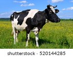 cow on a summer pasture   Shutterstock . vector #520144285