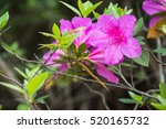 Azaleas Are Flowering Shrubs I...