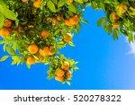 tangerine tree. oranges on a... | Shutterstock . vector #520278322