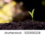 the seedling are growing in the ... | Shutterstock . vector #520300228