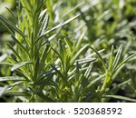 fresh rosemary plants in an...   Shutterstock . vector #520368592
