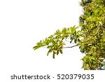 ivy green with leaf on isolate... | Shutterstock . vector #520379035