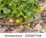 Lesser Celandine Or Pilewort ...