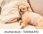 Cute Pomeranian Dog Sleeping O...