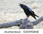 Common Raven. Corvus Corax