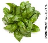 sweet basil herb leaves bunch... | Shutterstock . vector #520510576