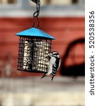 Small photo of One Downy woodpecker at a suet feeder