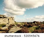 moorland near the cow and calf... | Shutterstock . vector #520545676