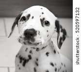 Cute Dalmatian Puppy In Black...