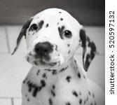 Cute Dalmatian Puppy In Black...