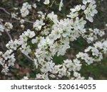white blossom | Shutterstock . vector #520614055