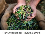 Harvested Fresh Olives In The...