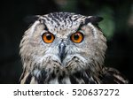 Stock photo owls portrait owl eyes 520637272