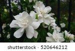 Small photo of Gardenias