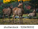 Sika Deer Resting And Grazing...