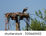 Young Osprey Calling Out While...
