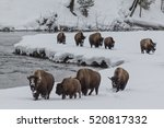 Bison On The Madison River In...