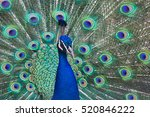 beautiful peacock with feathers ...