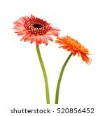 Stock photo beautiful gerbera flowers isolated on white background 520856452