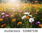 cosmos flower field in the... | Shutterstock . vector #520887538
