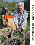 Small photo of CRETE, GREECE - NOVEMBER 22: Two agriculturist sift the harvested fresh olives and put them into sacks, in a field at Crete, Greece for olive oil production, on November 22, 2016.