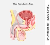 male reproductive tract vector. | Shutterstock .eps vector #520952452