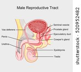 male reproductive tract vector. | Shutterstock .eps vector #520952482