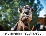an arabian camel chewing grass  ... | Shutterstock . vector #520987582