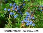 junipers  berries  | Shutterstock . vector #521067325