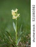 elder flowered orchid yellow ...   Shutterstock . vector #521083582